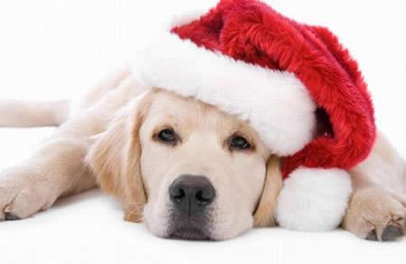 Christmas dinner dog